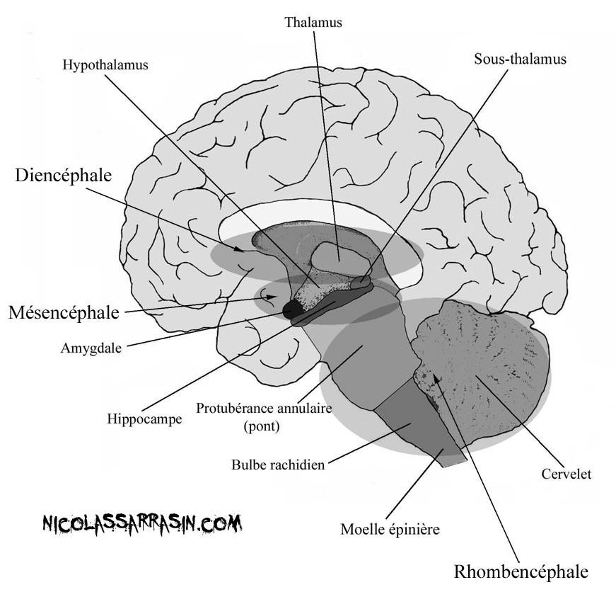 Comment notre cerveau a évolué: une introduction à ce que nous avons entre les deux oreilles - nicolassarrasin.com