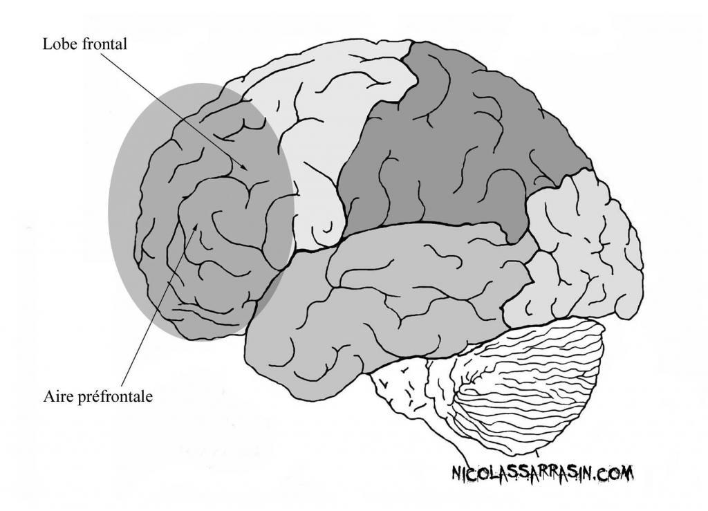 Aire préfrontale du néocortex - NicolasSarrasin.com