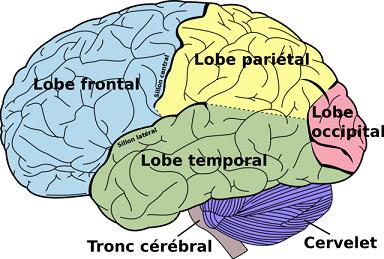 cortex-cerveau-cerveau